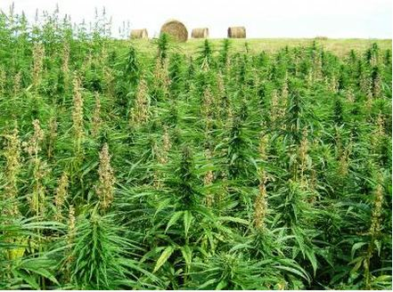 cannabis-sativa-441-328-60-Credit-Jan-Slaski-Alberta-Innovates-Technology-Futures
