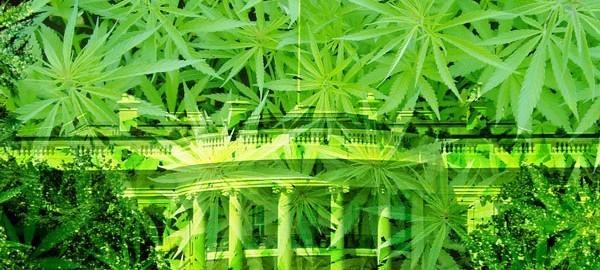 marijuana-govt